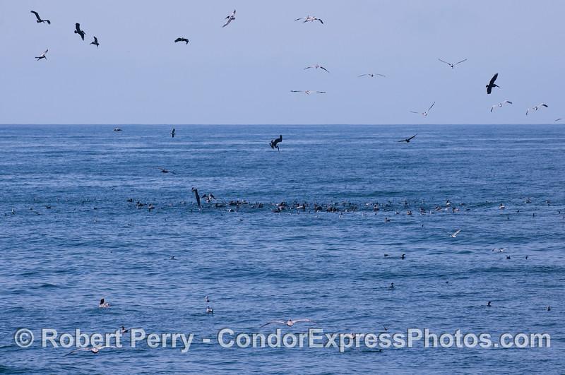 Brown Pelicans (<em>Pelecanus occidentalis</em>), Brandts Cormorants (<em>Phalocrocorax penicillatus</em>) and Gulls (<em>Larus</em> sp.) attack a school of baitfish.