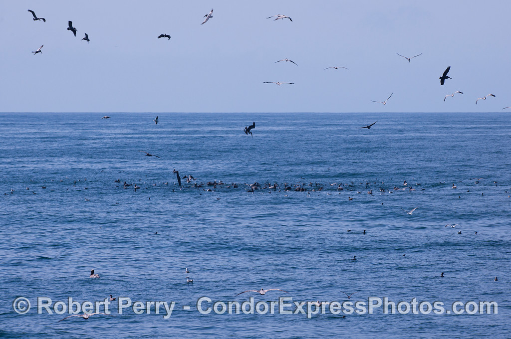 Brown Pelicans (<em>Pelecanus occidentalis</em>), Brandts Cormorants (<em>Phalocrocorax penicillatus</em>) and Gulls (<em>Larus</em> sp.) attack a school of baitfish.