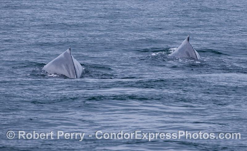 "Two ""humps"" of two Humpback Whales (<em>Megaptera novaeangliae</em>)."