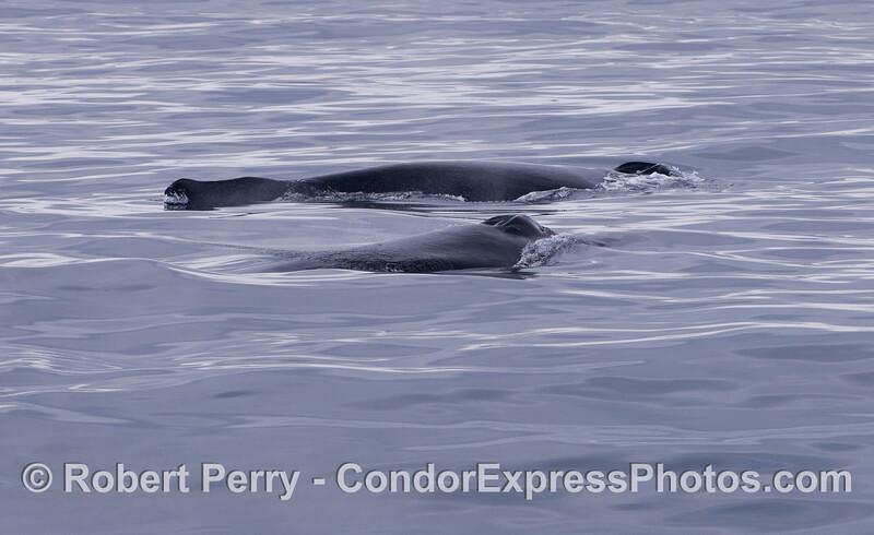 Two Humpback Whales (<em>Megaptera novaeangliae</em>) on a glassy ocean.