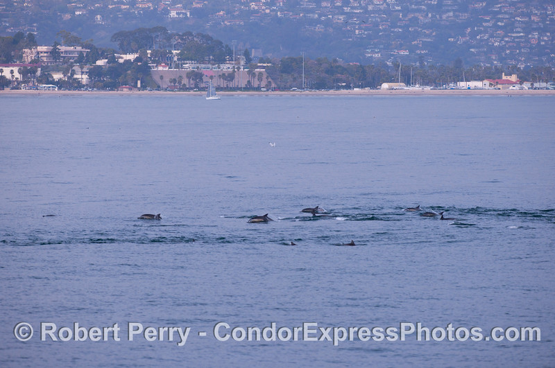 Long-Beaked Common Dolphins (<em>Delphinus capensis</em>) with Santa Barbara City College and the Harbor in the background.