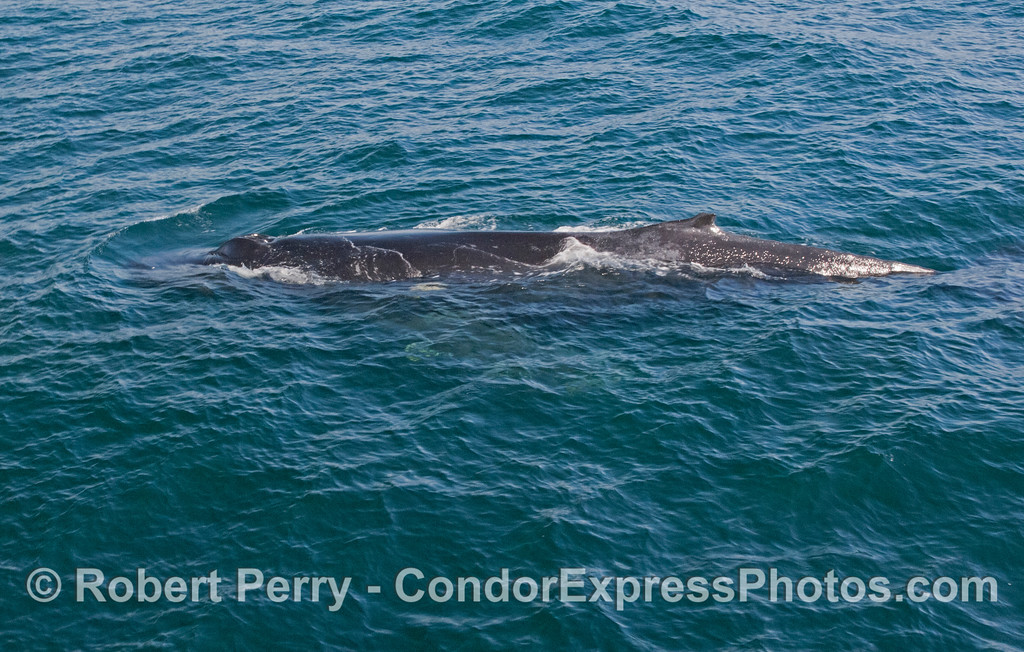 An entire Humpback Whale (<em>Megaptera novaeangliae</em>) body can be seen as viewed close to the Condor Express.