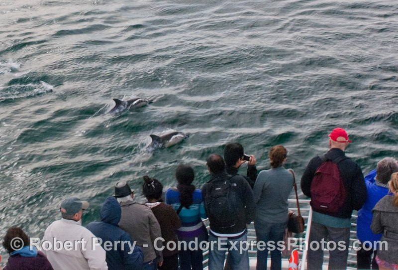 Guests on board the Condor Express get close looks at some friendly Long-Beaked Common Dolphins (<em>Delphinus capensis</em>).