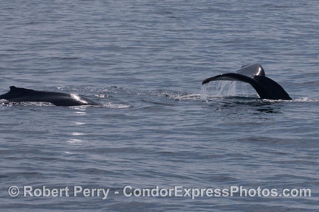 Humpback Whales (<em>Megaptera novaeangliae</em>).