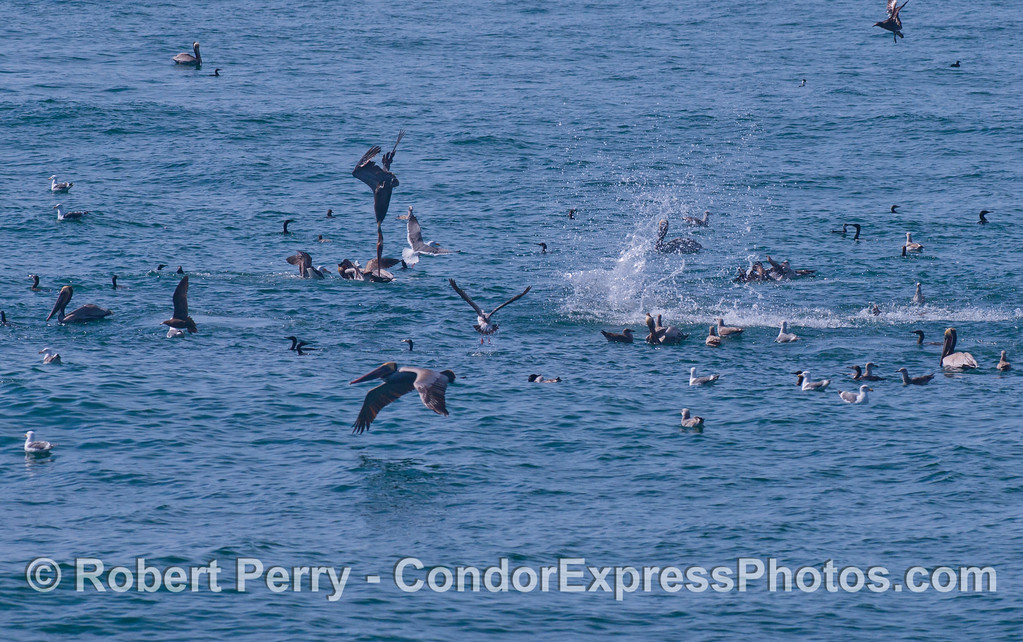 Brown Pelicans (Pelecanus occidentalis), Brandts Cormorants (Phalocrocorax penicillatus) and Gulls (Larus sp.) attack a school of baitfish.