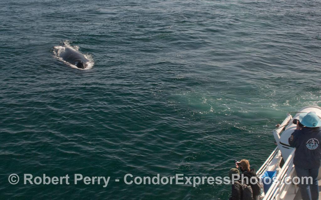 Here it comes!  A Humpback Whale (<em>Megaptera novaeangliae</em>) heads straight for the Condor Express.