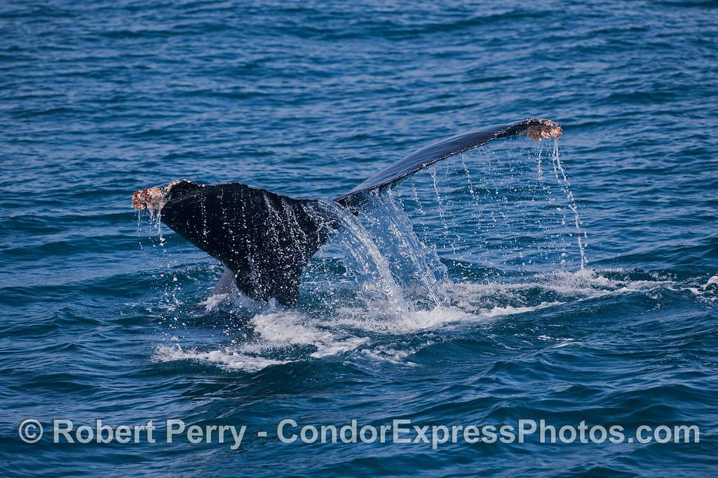 The mighty tail fluke of a Humpback Whale (<em>Megaptera novaeangliae</em>) creates a waterfall.