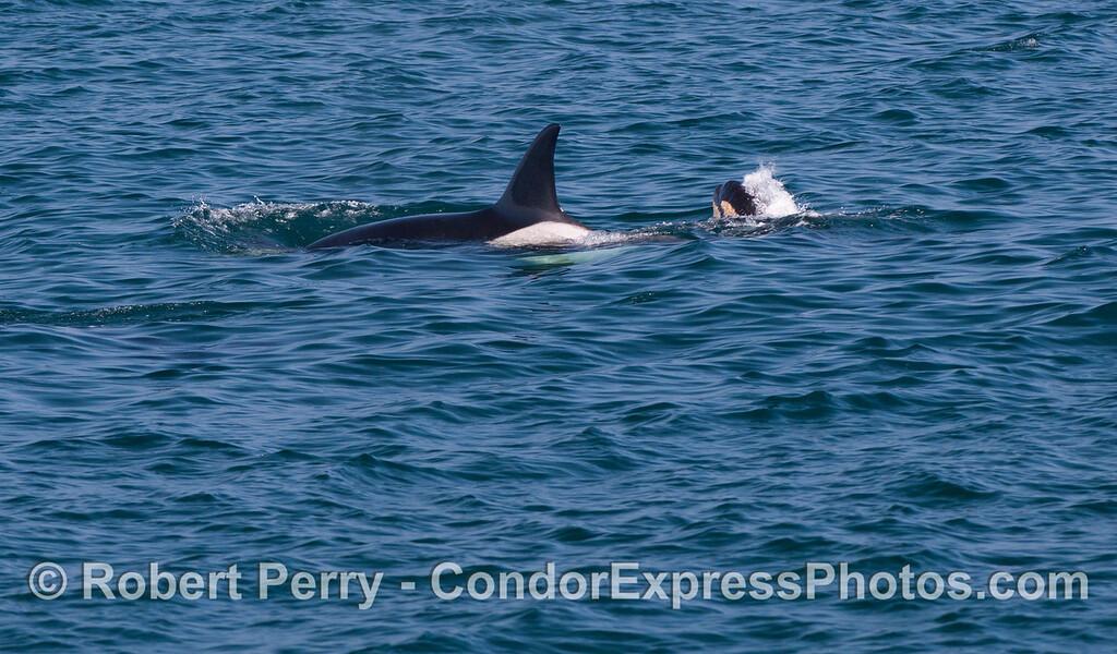 Mother and calf Killer Whales (<em>Orcinus orca</em>).