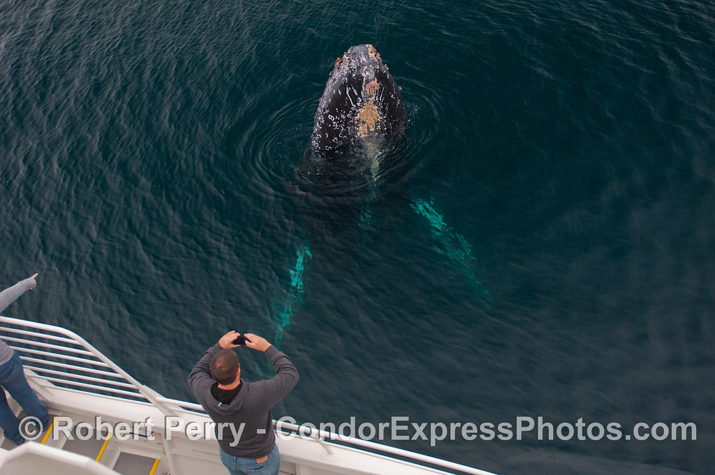 A Whale of a photograph.  A friendly Humpback Whale (<em>Megaptera novaeangliae</em>) gets its picture taken.