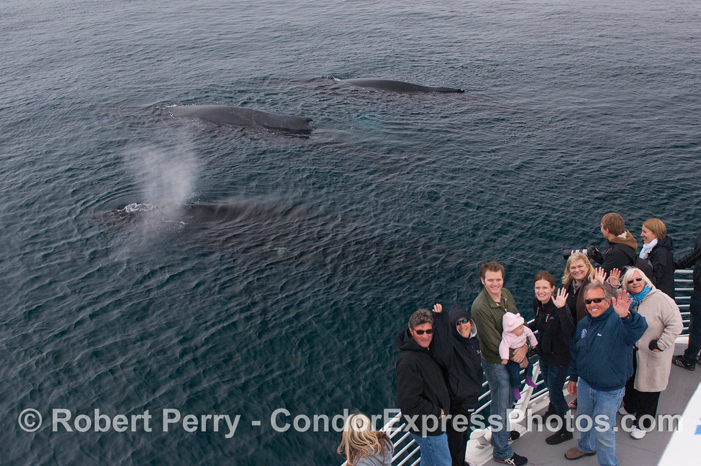 Whales and people.  Passengers aboard the Condor Express get their portraits taken with 3 Humpback Whales (<em>Megaptera novaeangliae</em>).