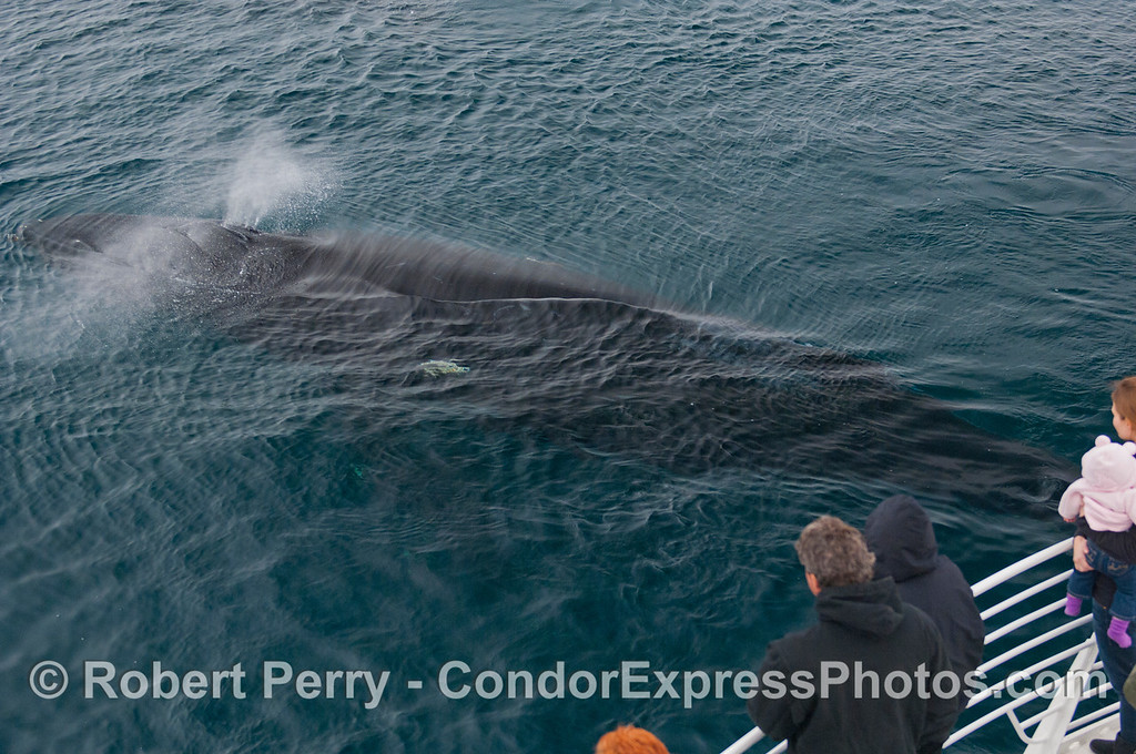 A spouting Humpback Whale (Megaptera novaeangliae) swims close to the Condor Express.
