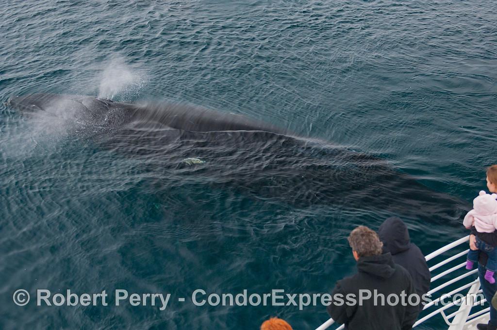A spouting Humpback Whale (<em>Megaptera novaeangliae</em>) swims close to the Condor Express.