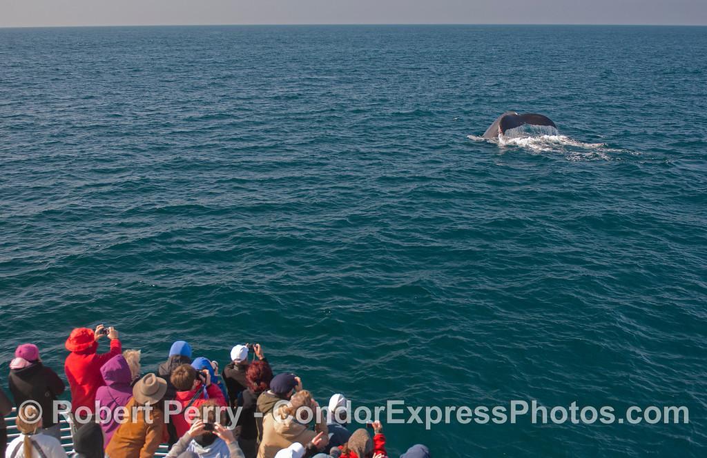 People and the giant tail fluke of a Humpback Whale (<em>Megaptera novaeangliae</em>).