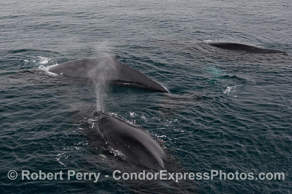 Three Humpback Whales (<em>Megaptera novaeangliae</em>).