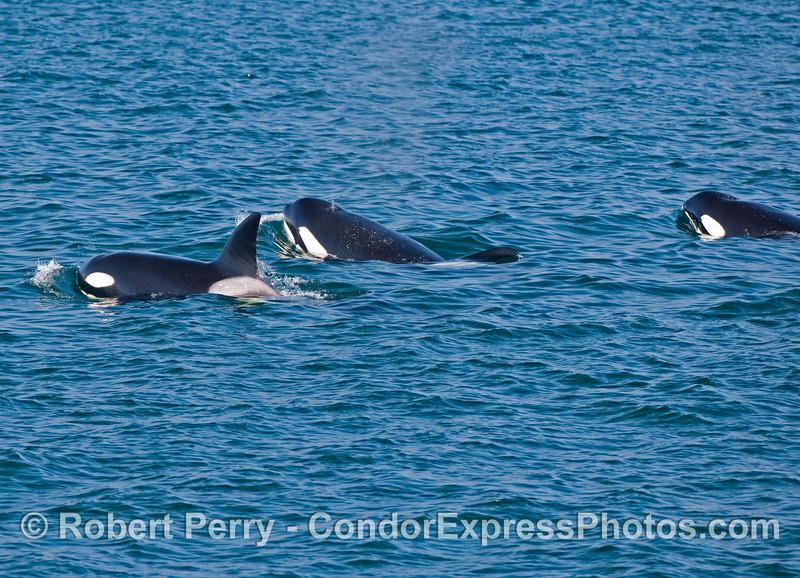 Killer Whales (<em>Orcinus orca</em>).