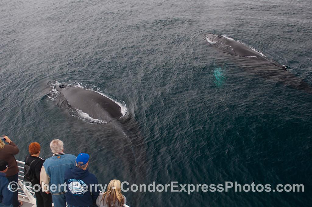 Two large Humpback Whales (<em>Megaptera novaeangliae</em>).