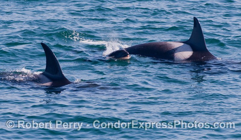 Mother and calf Killer Whales (<em>Orcinus orca</em>).