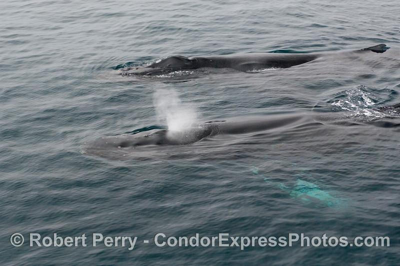 Two Humpback Whales (<em>Megaptera novaeangliae</em>)