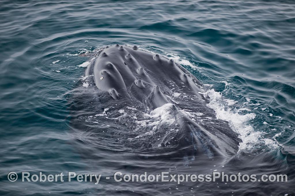 Humpback Whale (<em>Megaptera novaeangliae</em>)