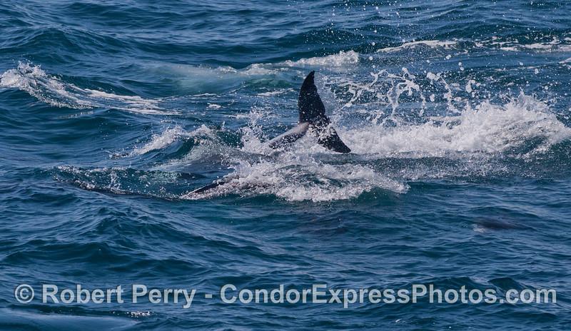 Lagenorhynchus obliquidens tail fluke 2012 03-10 SB Channel-094