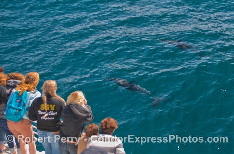 Lagenorhynchus obliquidens & passengers 2012 03-10 SB Channel-d-002