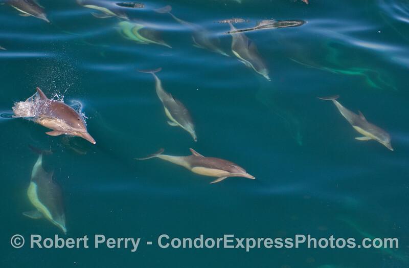 Delphinus capensis 2012 03-20 SB Channel-a-083