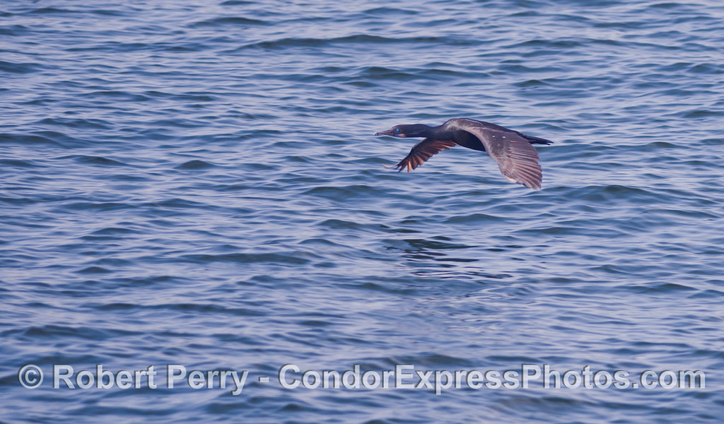 Phalocrocorax penicillatus in flight 2012 03-24 SB Channel-003