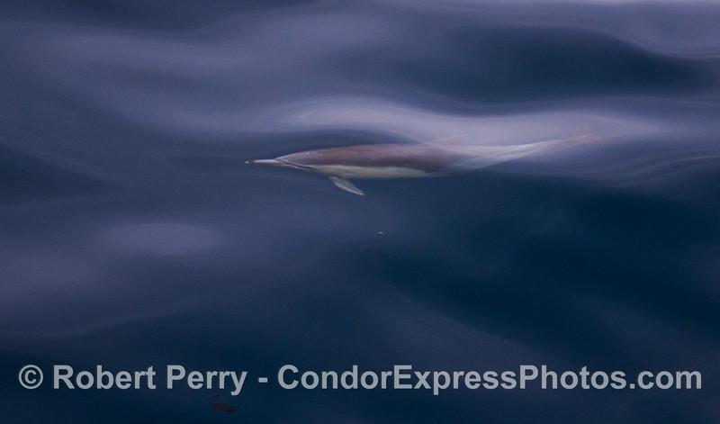Delphinus capensis 2012 03-31 SB Channel-a-002