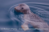 2012 03-31 SB Channel : A very friendly Northern Sea Elephant pup pays us a visit.  Also, Gray Whales and Common Dolphins.