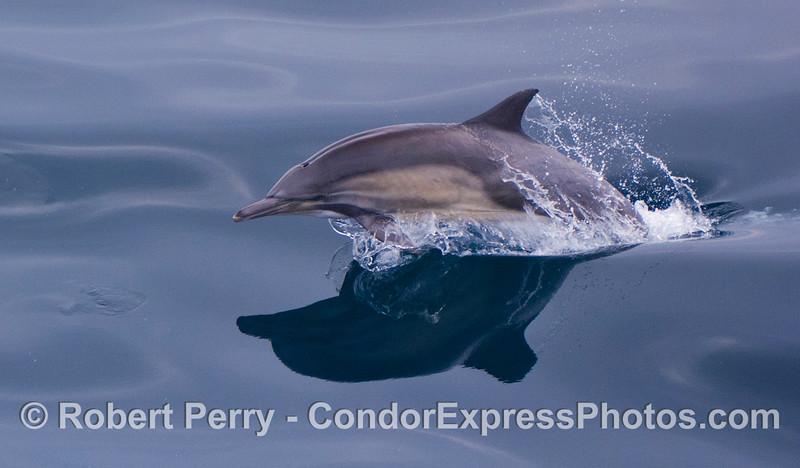 Delphinus capensis 2012 03-31 SB Channel-a-006
