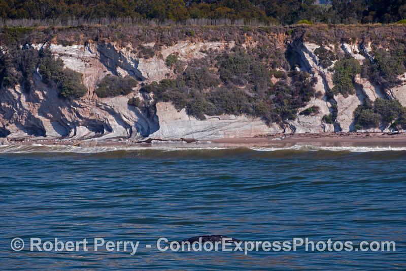 Eschrichtius robustus near surf 2012 04-02 SB Channel-009