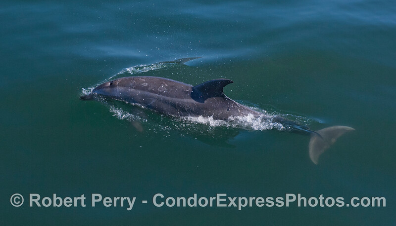 Tursiops truncatus inshore 2012 04-02 SB Channel-a-022