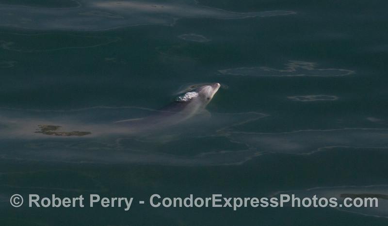 Tursiops truncatus inshore 2012 04-02 SB Channel-a-063