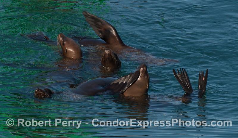 Zalophus californianus group rafting 2012 04-03 SB Channel-003
