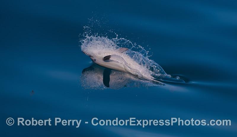 Delphinus capensis calf upside down feeding 2012 04-03 SB Channel-002