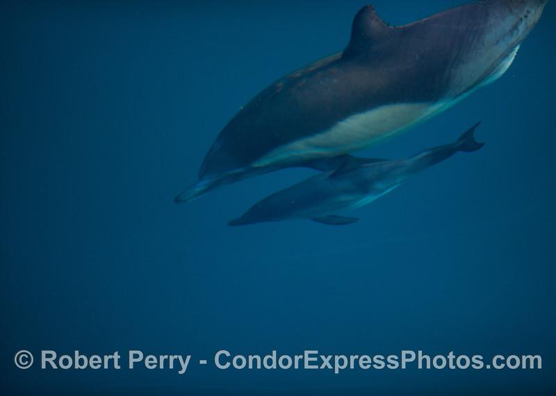 Delphinus capensis cow & calf 2012 04-03 SB Channel-006