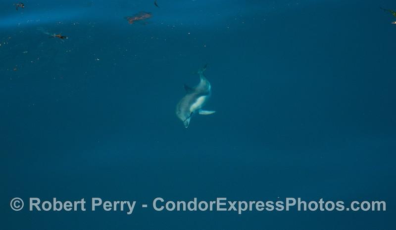Delphinus capensis 2012 04-03 SB Channel-a-012