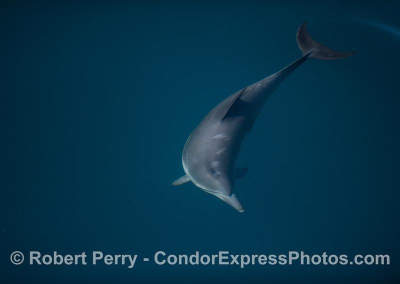 Delphinus capensis 2012 04-03 SB Channel-037