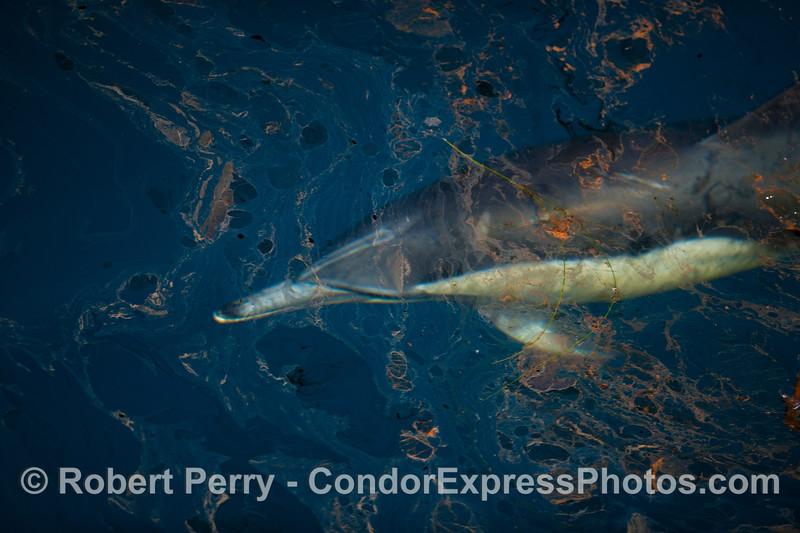 Delphinus capensis under oil surface 2012 04-03 SB Channel-009