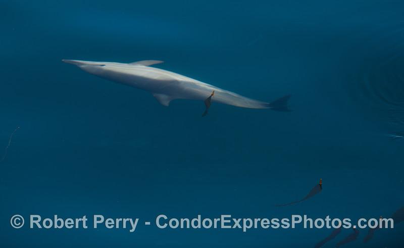 Delphinus capensis 2012 04-03 SB Channel-032