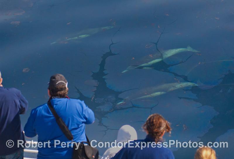 Delphinus capensis under oil surface & passengers 2012 04-03 SB Channel-a-001