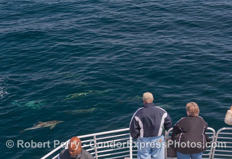 Delphinus capensis 2012 04-06 SB Channel-a-011