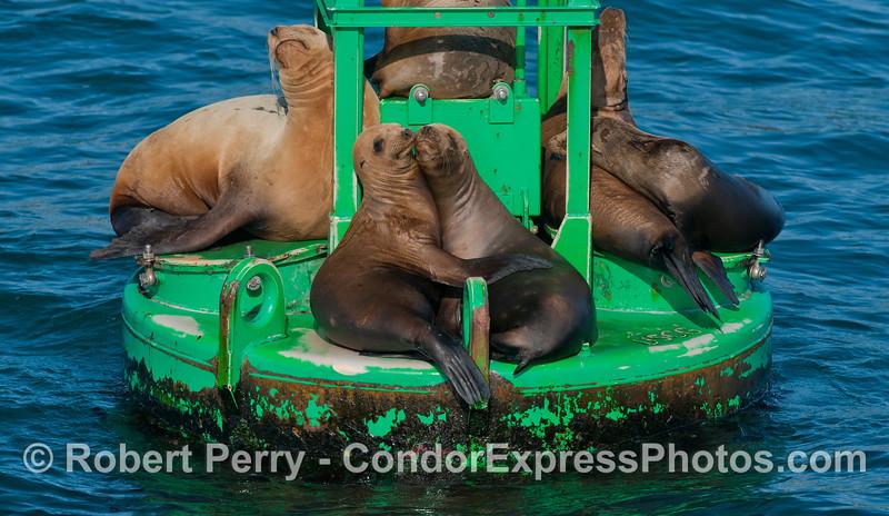 Zalophus hugging on buoy 2012 04-06 SB Harbor