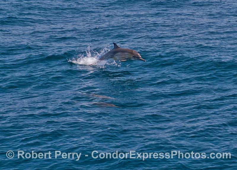 Delphinus capensis 2012 04-06 SB Channel-a-004