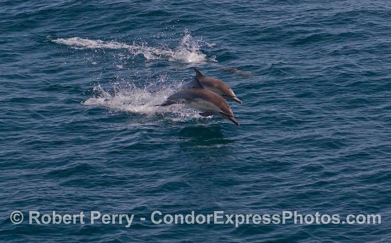 Delphinus capensis 2012 04-06 SB Channel-a-006