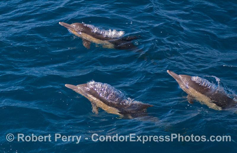 Delphinus capensis 2012 04-07 SB Channel-a-029