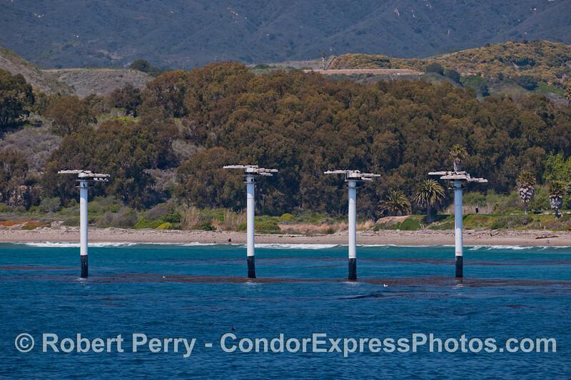cormorant habitat poles 2012 04-07 SB Channel-c-001