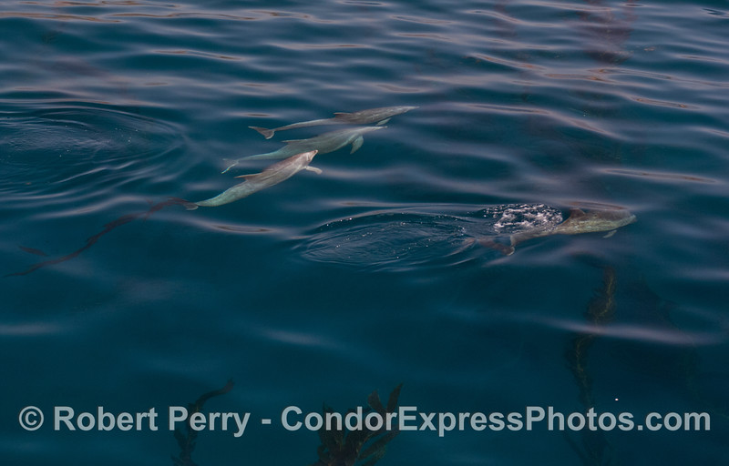 Dolphins exit the kelp (<em>Macrocystis pyrifera</em>).  The one in the center is still dragging a kelp frond.