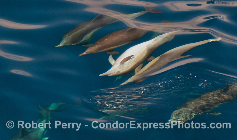 Image 2 of 3:  a gang of dolphins with one upside down.