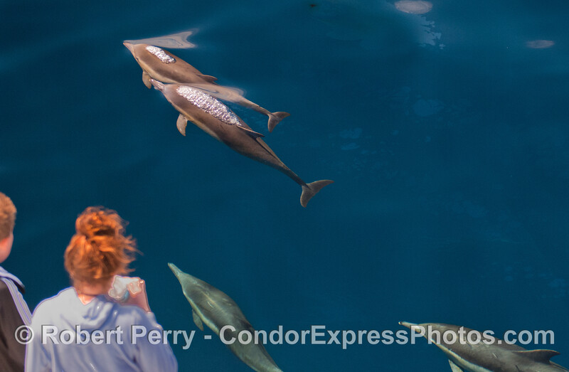 Passengers get a visit from several dolphins.
